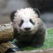 «Amendement panda» : le cadeau accordé par les députés aux zoos