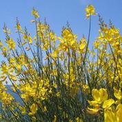 Genêt d'Espagne, idéal pour les jardins sans arrosage