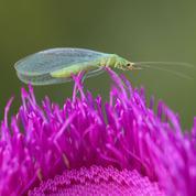 Jardin: des parasites sous «biocontrôle»