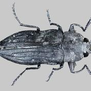 Les scarabées de feu, ces insectes «pyrophiles» qui aiment les incendies