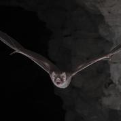 Comment les chauves-souris vampires supportent de boire du sang