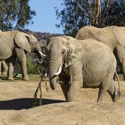 Il y a bien deux espèces distinctes d'éléphants africains