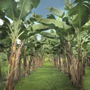 Les producteurs antillais lancent la marque «Banane équitable»