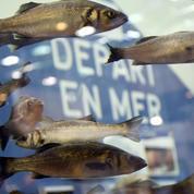 À Morlaix, les pêcheurs plaisanciers défendent le droit à «un bar par jour et par personne»