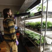 Cannabis: la nouvelle ruée vers l'or en Californie