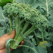 Chou brocoli, un délicieux légume-fleur