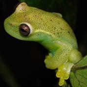 Une nouvelle espèce de grenouille à la frontière entre le Venezuela et la Colombie