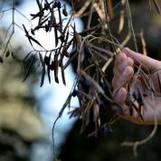 Xylella fait trembler les oliviers corses