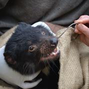 Un espoir contre les «cancers contagieux» qui déciment les diables de Tasmanie