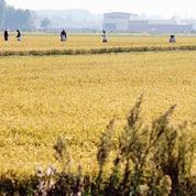 La déferlante asiatique frappe le riz italien