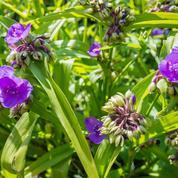 Éphémère de Virginie, tout un été en fleurs