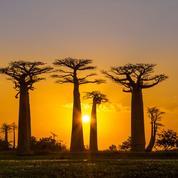 Les baobabs millénaires d'Afrique sont en train de disparaître
