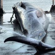 L'Islande relance la pêche aux grandes baleines
