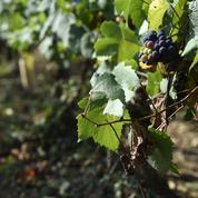 En Occitanie, un nouveau logo pour les viticulteurs «en conversion» vers le bio