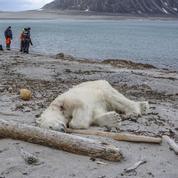 Un ours polaire abattu en Arctique après avoir attaqué un guide