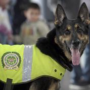 Colombie : la tête d'un chien renifleur trop doué mise à prix par un cartel de drogue