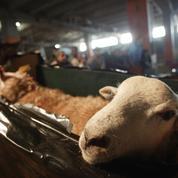 Fête de l'Aïd : les abattoirs clandestins dans le viseur du ministère de l'Agriculture