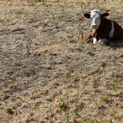 «Avec la canicule je crains de ne pas pouvoir nourrir mes vaches cet hiver»