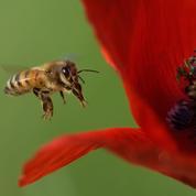 Les abeilles deviendraient accros aux insecticides néonicotinoïdes