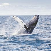 Le Japon va-t-il pouvoir rétablir la chasse commerciale des baleines ?