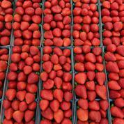 Après l'Australie, la Nouvelle-Zélande touchée par le mystère des aiguilles dans les fraises