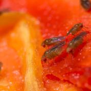 Les mouches cancéreuses se regroupent pour lutter contre la maladie