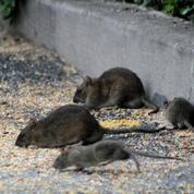 Pourquoi les chats sont impuissants face aux rats