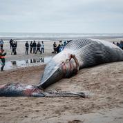 Échouage rarissime d'une baleine de 18 mètres sur les côtes belges