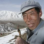 Le «viagra» tibétain en voie de disparition