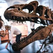 Les fossiles de dinosaures font souffler un vent de folie sur les salles de ventes