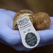La truffe blanche d'Alba, trésor du Piémont