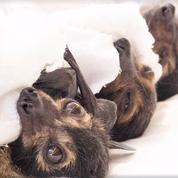 Des dizaines de milliers de chauves-souris meurent de chaud en Australie
