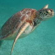 Réchauffement: les tortues marines se féminisent