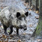 Pourquoi la peste porcine fait si peur aux éleveurs français