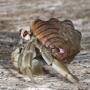 Chez les bernard-l'ermite, la taille du sexe compte aussi