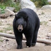 Les ours qui se nourrissent dans nos poubelles hibernent moins