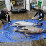 Le gouvernement s'inquiète du nombre de dauphins échoués sur la côte atlantique