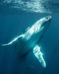 Baleine à bosse.