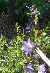 Taille de fleurs de campanules fanées. DR