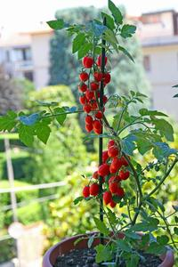 Belle récolte de tomates-cerises cultivées en pot.