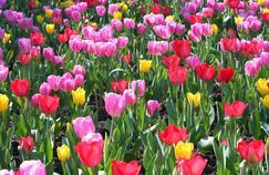 Tout savoir sur la culture des tulipes