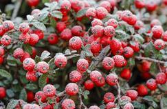 Haie : quels arbustes résistent à des températures de -20°C ?