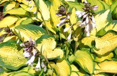 Hosta, des feuilles et des fleurs somptueuses