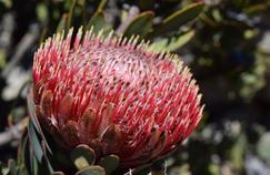 Un Protea rupicola d'Afrique du Sud.