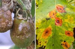 Tomates atteintes de mildiou (à gauche) et taches de rouille grillagée sur feuille de poirier (à droite). Crédit photo: Scot Nelson/Flickr (à g.).
