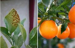 Oranger: quelles sont ces taches brunes sur les feuilles ?