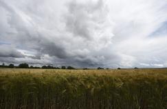 Tous les ingrédients climatiques étaient réunis cette année pour que la récolte de blé soit l'une des plus mauvaises depuis plusieurs décennies.