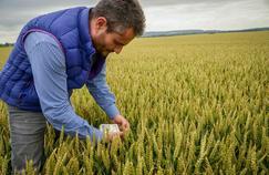 Alexis Patria, exploitant dans l'Oise, en train de constater les dégâts des maladies sur son blé. (Crédit photo/ Lucas Barioulet, Le Figaro).