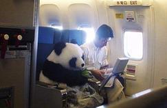 Un panda a voyagé dans un avion en 2013: trésor national en Chine, les autorités ont voulu l'offrir au Japon.