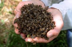 Un apiculteur tient dans ses mains des abeilles retrouvées mortes près des ruches de son exploitation.
